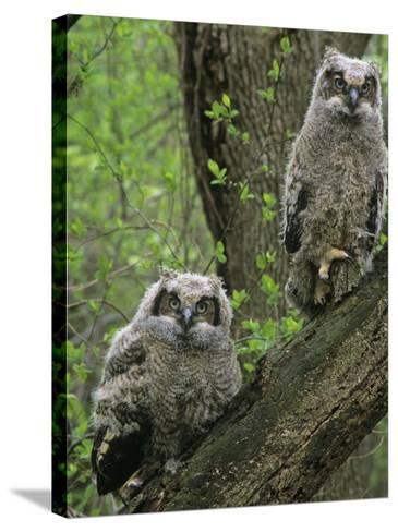 Young Great Horned Owls, Bubo Virginianus, . North America-Gary Meszaros-Stretched Canvas Print