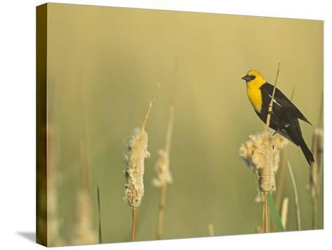 Male Yellow-Headed Blackbird, Xanthocephalus Xanthocephalus, in Cattails, Typha, North America-John & Barbara Gerlach-Stretched Canvas Print