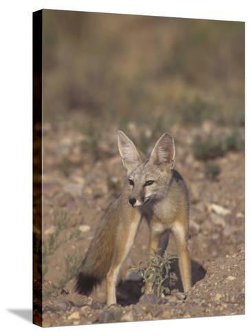 Kit Fox (Vulpes Macrotis), Southwestern North America-Rick & Nora Bowers-Stretched Canvas Print