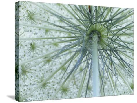 Queen Anne's Lace or Wild Carrot Flower Viewed from Below, Daucus Carota, North America-Adam Jones-Stretched Canvas Print