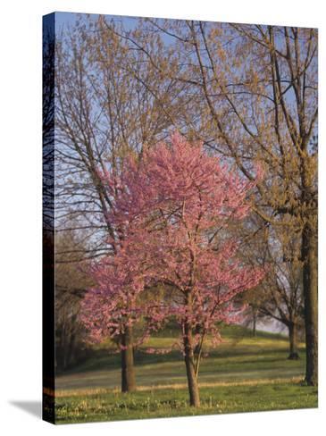 Eastern Redbud Tree, Cercis Canadensis, in Full Bloom, Eastern North America-Adam Jones-Stretched Canvas Print