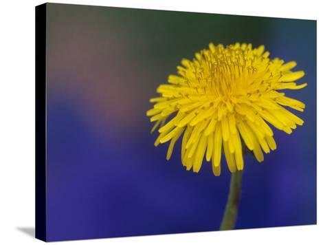 Dandelion Flower, Taraxacum Officinale-Adam Jones-Stretched Canvas Print