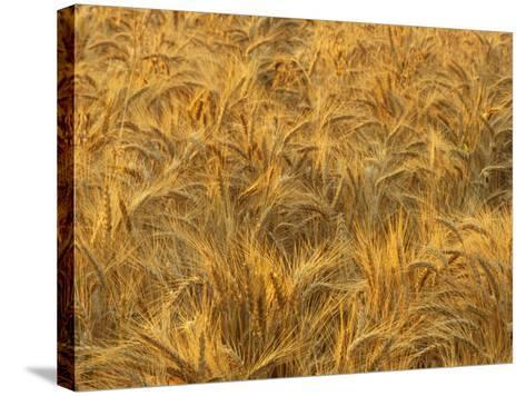 Early Morning Light on a Wheat Field Ready for Harvesting, Triticum Aestivum-Adam Jones-Stretched Canvas Print