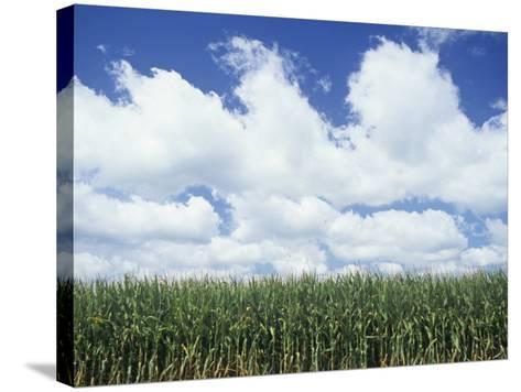 Corn Crop under a Blue Sky with Fair-Weather Cumulus Clouds, Zea Mays-Adam Jones-Stretched Canvas Print
