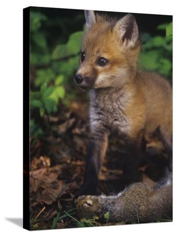 Red Fox Pup (Vulpes Vulpes) Next to Gray Squirrel Prey (Sciurus Carolinensis), North America-Steve Maslowski-Stretched Canvas Print