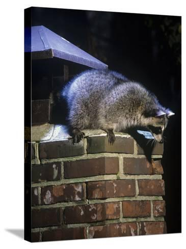 Raccoon (Procyon Lotor) Exploring a Chimney on a House, North America-Steve Maslowski-Stretched Canvas Print