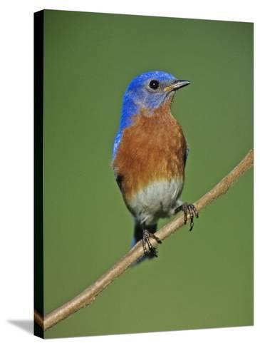 Male Eastern Bluebird, Sialia Sialis, North America. Missouri State Bird-Joe McDonald-Stretched Canvas Print