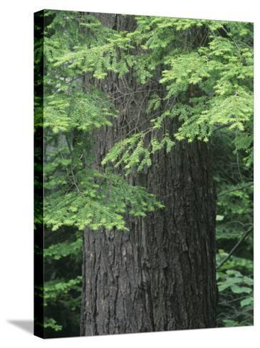 Needles and Bark of the Eastern Hemlock, Tsuga Canadensis, North America-David Sieren-Stretched Canvas Print
