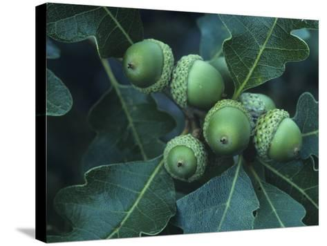 Gambel Oak Tree Leaves and Acorns, Quercus Gambelii, Southwestern North America-Doug Sokell-Stretched Canvas Print