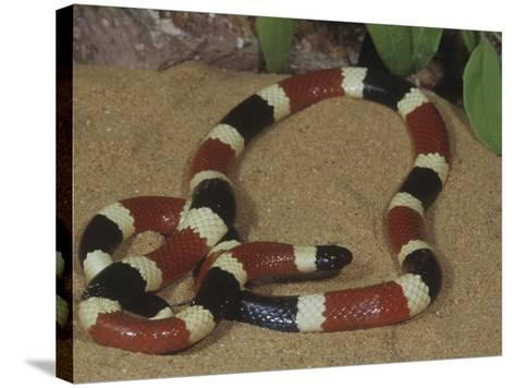 Arizona Coral Snake or Western Coral Snake, Micruroides Euryxanthus-Gerold & Cynthia Merker-Stretched Canvas Print