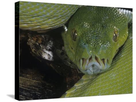Green Tree Python Showing Pits., Chondropython Viridi, New Guina-Joe & Mary Ann McDonald-Stretched Canvas Print