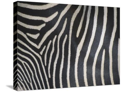 Close-Up of Grevy's Zebra Stripes, Equus Grevyi, Africa-John & Barbara Gerlach-Stretched Canvas Print