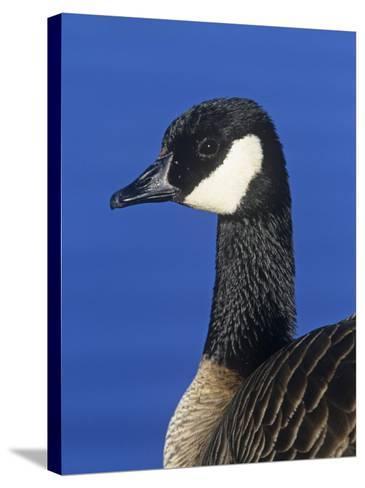 Lesser Canada Goose Head, Branta Canadensis Parvipes, Alaska, USA-Arthur Morris-Stretched Canvas Print