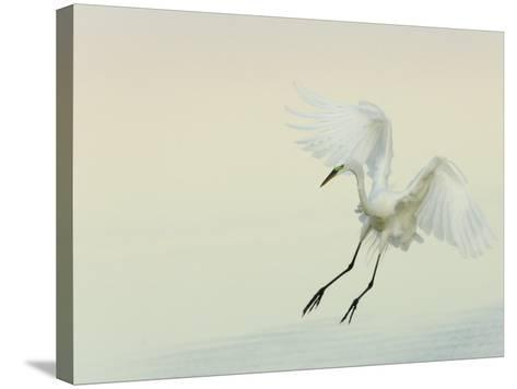 Great Egret Braking to Land, Ardea Alba, Southern USA-Arthur Morris-Stretched Canvas Print