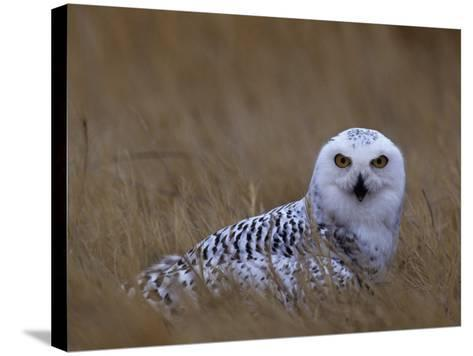 Female Snowy Owl, Nyctea Scandiaca, Standing in Dried Grass, North America-Beth Davidow-Stretched Canvas Print