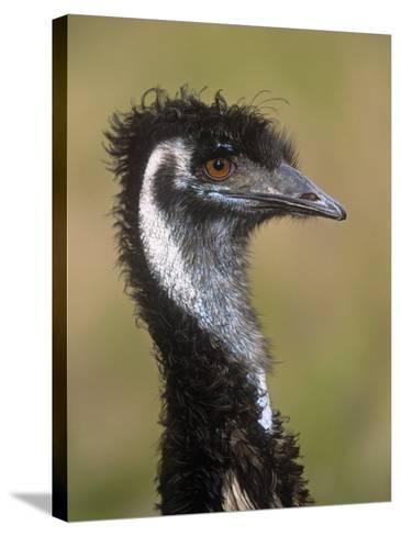 Emu, Dromaius Novaehollandiae, Australia-Adam Jones-Stretched Canvas Print