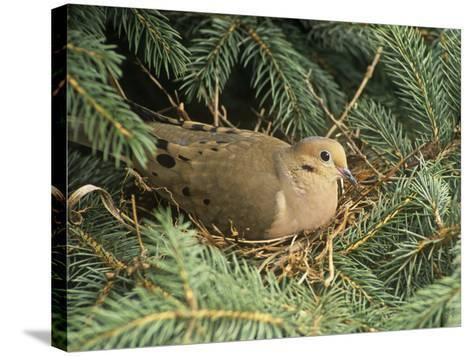 Mourning Dove, Zenaida Macroura, on its Nest in a Blue Spruce Tree, Picea Pungens, North America-Adam Jones-Stretched Canvas Print