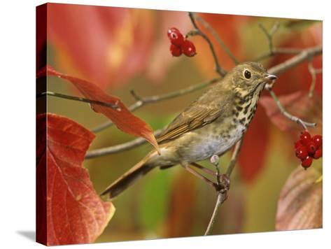Hermit Thrush (Catharus Guttatus) in a Fall Dogwood Tree, the State Bird of Vermont, USA-Steve Maslowski-Stretched Canvas Print