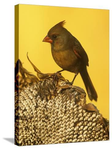 A Female Northern Cardinal (Cardinalis Cardinalis) on a Sunflower Seed Head, Eastern North America-Steve Maslowski-Stretched Canvas Print