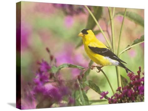 Male American Goldfinch (Carduelis Tristis) on Ironweed (Veronia). North America-Steve Maslowski-Stretched Canvas Print