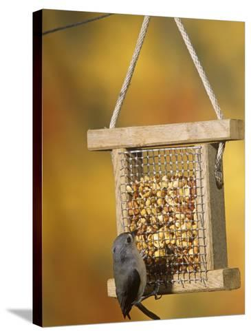Tufted Titmouse (Parus Bicolor) Feeding at a Nut Feeder, North America-Steve Maslowski-Stretched Canvas Print