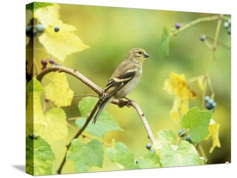 American Goldfinch in the Fall (Carduelis Tristis), North America-Steve Maslowski-Stretched Canvas Print