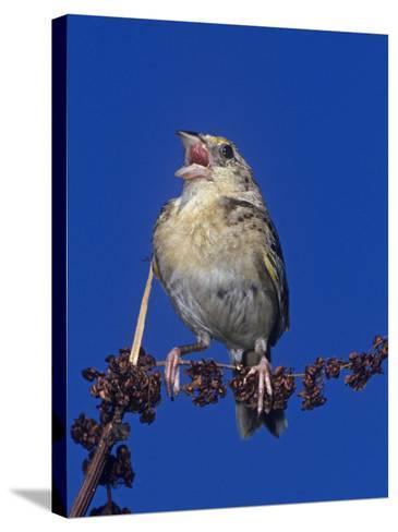 Grasshopper Sparrow Singing, Ammodramus Savannarum, Eastern USA-Joe McDonald-Stretched Canvas Print