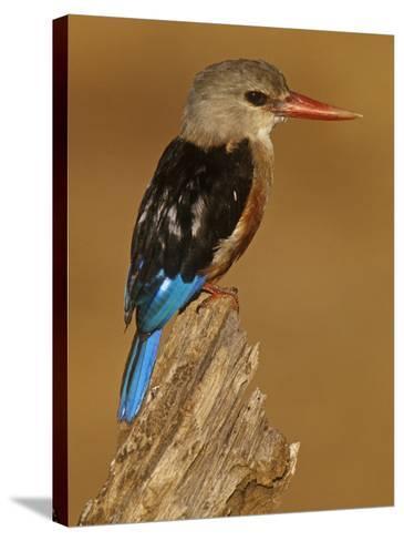 Gray-Headed Kingfisher, Halcyon Leucocephalus, Samburu Game Refuge, Kenya, Africa-Joe McDonald-Stretched Canvas Print