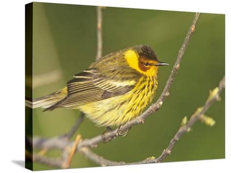 Cape May Warbler, Dendroica Tigrina, Eastern USA-Arthur Morris-Stretched Canvas Print