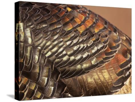 Close-Up of Wild Turkey Feathers, Mealagris Gallopavo, North America-Arthur Morris-Stretched Canvas Print