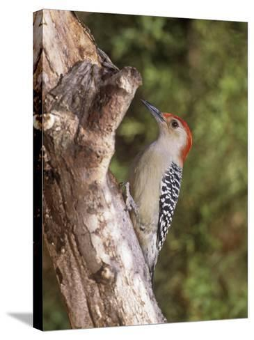 Red-Bellied Woodpecker, Melanerpes Carolinus-Gary Carter-Stretched Canvas Print