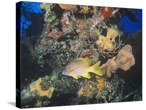 Schoolmaster Snapper (Lutjanus Apodus) Among Corals, Caribbean-Joan Richardson-Stretched Canvas Print