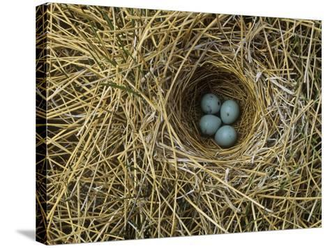 Red-Winged Blackbird Nest with Four Eggs in a Marsh, Agelaius Phoeniceus, North America-John & Barbara Gerlach-Stretched Canvas Print
