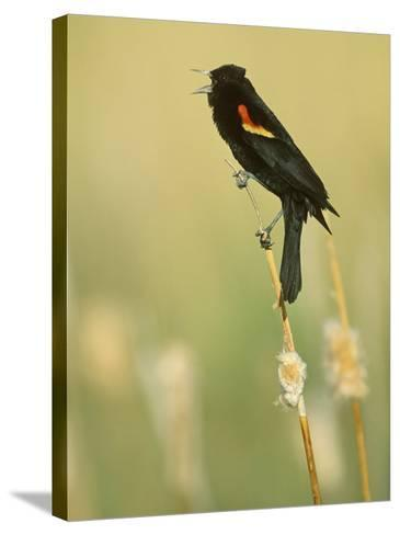 Male Red-Winged Blackbird Singing, Agelaius Phoeniceus, North America-John & Barbara Gerlach-Stretched Canvas Print
