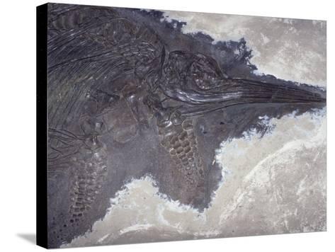 Ichthyosaur Fossil - Fish Lizard (Stenopterygius Quadricissus) Jurassic Period 185 M.Y.A Germany-Ken Lucas-Stretched Canvas Print