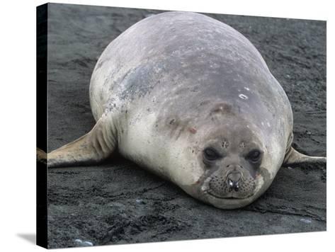 Southern Elephant Seal, Mirounga Leonina, South Georgia Islands, Antarctic Region-Gerald & Buff Corsi-Stretched Canvas Print