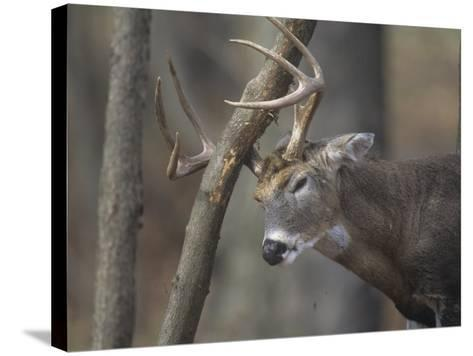 White-Tailed Deer Buck Rubbing its Antlers on a Tree (Odocoileus Virginianus), North America-Tom Edwards-Stretched Canvas Print