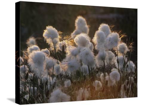 Arctic Cotton Grass (Eriophorum), a Sedge on the Tundra, Canada-Tim Hauf-Stretched Canvas Print