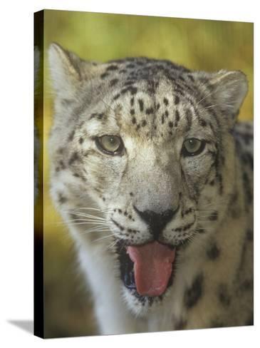 A Snow Leopard Face, Panthera Uncia, Asia-Adam Jones-Stretched Canvas Print