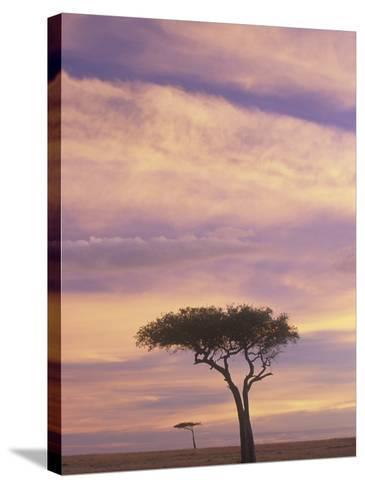 Acacia Trees Silhouetted at Twilight on the Savanna, Masai Mara Game Refuge, Kenya, Africa-Adam Jones-Stretched Canvas Print