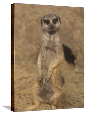 A Meerkat Lookout Near its Den Opening, Suricata Suricatta, Southern Africa-Adam Jones-Stretched Canvas Print