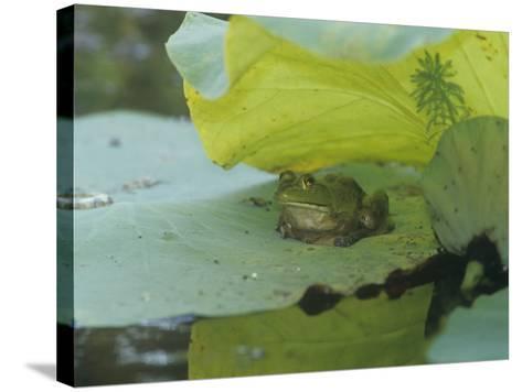 American Bullfrog (Rana Catesbeiana) on a Water Lily Pad, North America-Adam Jones-Stretched Canvas Print