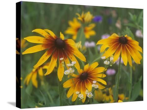 Gloriosa Daisy, Rudbeckia Gloriosa, Asteraceae, North America-Adam Jones-Stretched Canvas Print