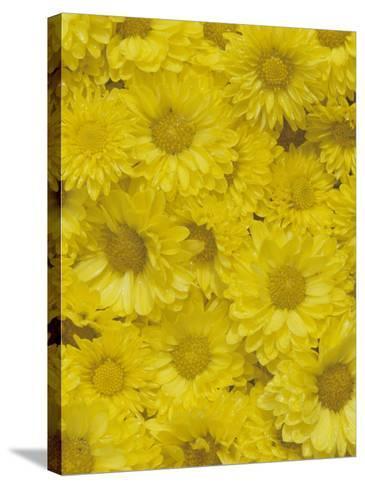 Yellow Garden Chrysanthemums-Adam Jones-Stretched Canvas Print