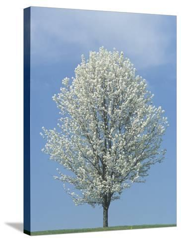Bradford Pear in Full Bloom Against a Blue Sky-Adam Jones-Stretched Canvas Print