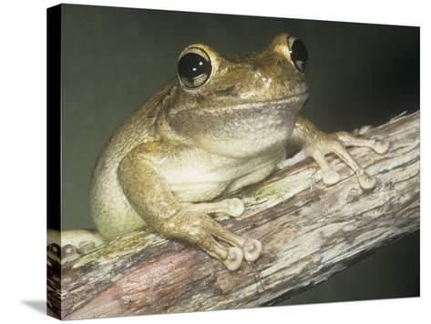 Cuban Treefrog, Osteopilus Septentrionalis, Cuba and an Introduced Species in Florida, USA-Joe McDonald-Stretched Canvas Print