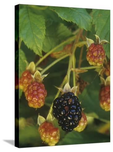 Ripe and Ripening Berries of the Highbush Blackberry, Rubus Allegheniensis, Eastern North America-Joe McDonald-Stretched Canvas Print