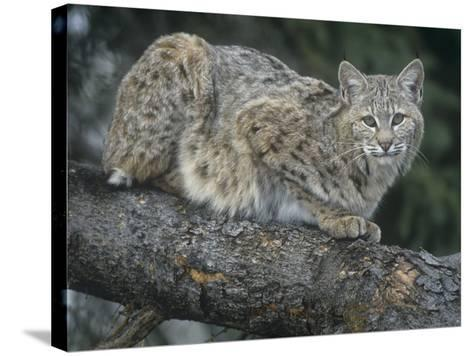 Bobcat, Lynx Rufus, North America-Joe McDonald-Stretched Canvas Print