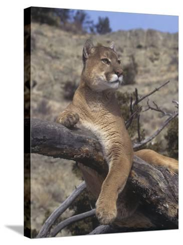 Mountain Lion, Cougar, or Puma (Felis Concolor), Western North America-Tom Walker-Stretched Canvas Print