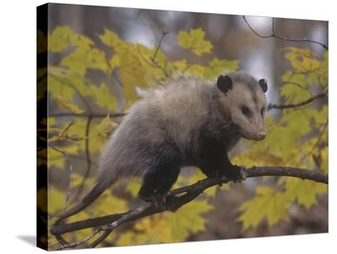 Opossum in a Tree in a Deciduous Forest, Didelphis Virginiana, USA-Gary Walter-Stretched Canvas Print